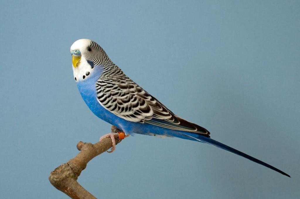 Papegaaienziekte gevaarlijk voor de mens